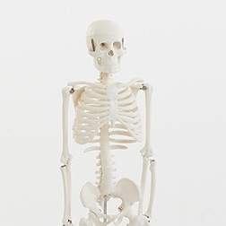 Half-Scale Skeleton