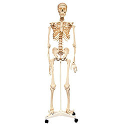 Life Size Skeleton 160cm