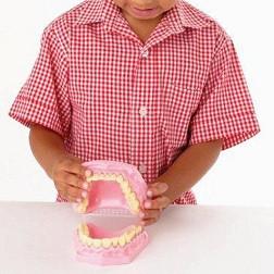 Anatomical Teeth / Dental Set